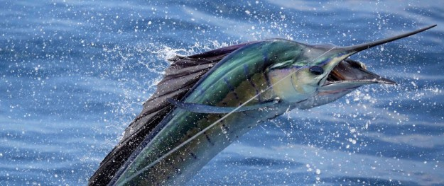 Sailfish Guatemala