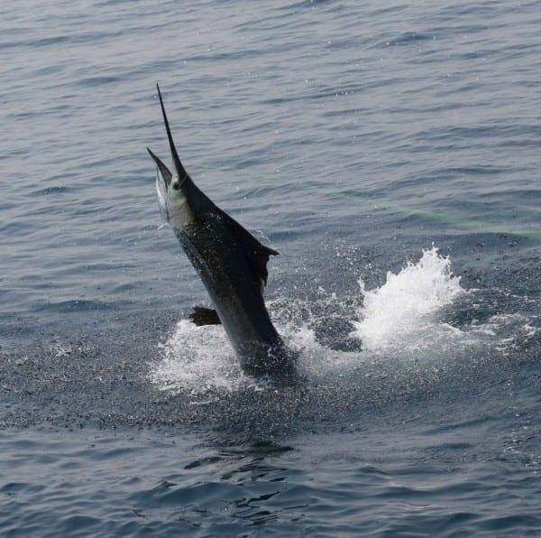 sailfish_ri7u1346