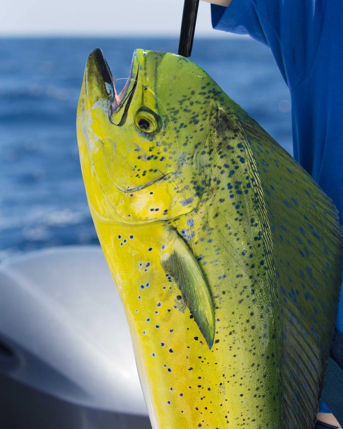 Mahi Mahi Casa Vieja Lodge Amp Sportfishing Fleet