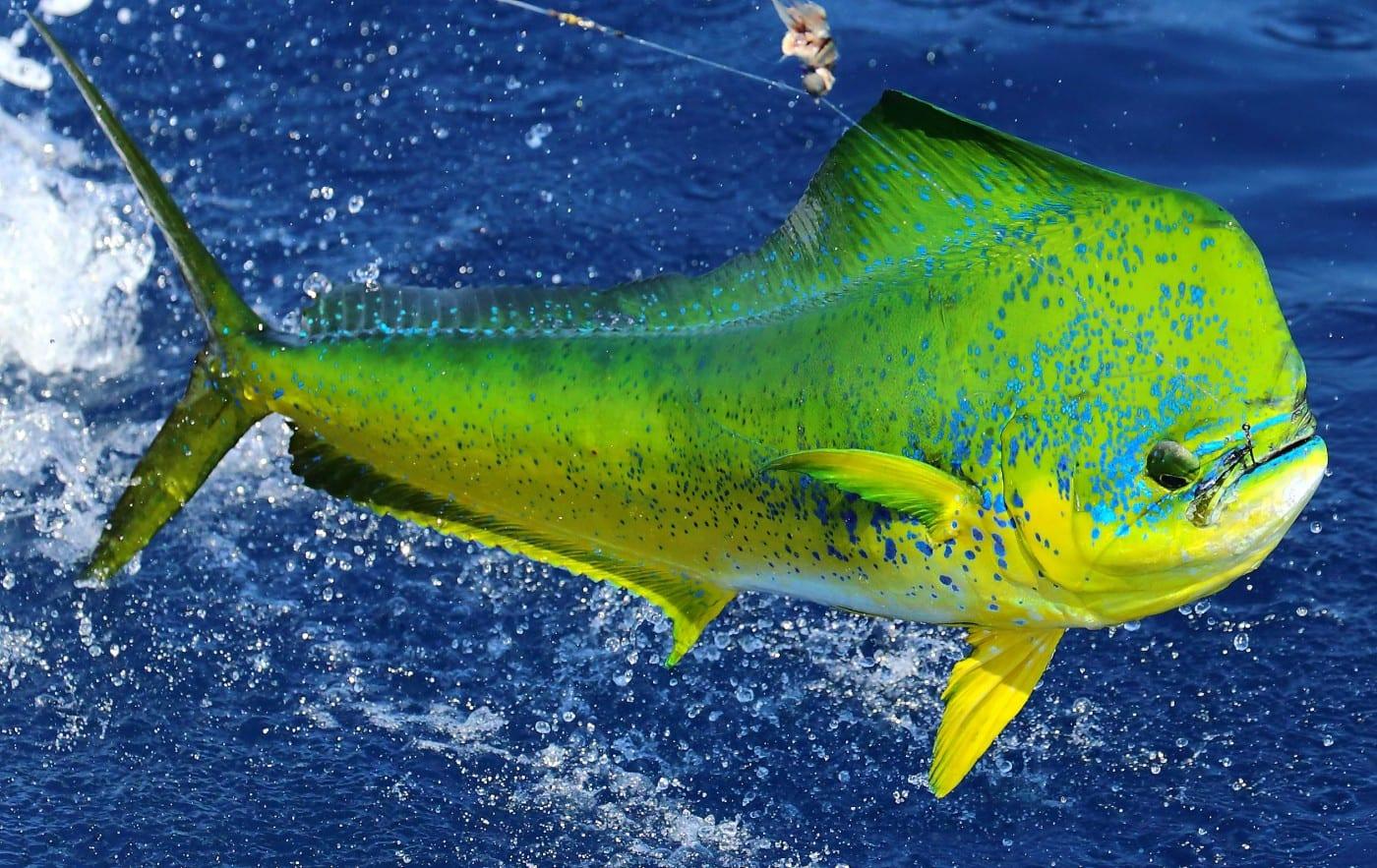 mahi mahi dorado - Casa Vieja Lodge & Sportfishing Fleet